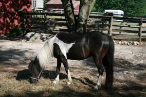 Ponies Horses Rhode Island Farm Stay